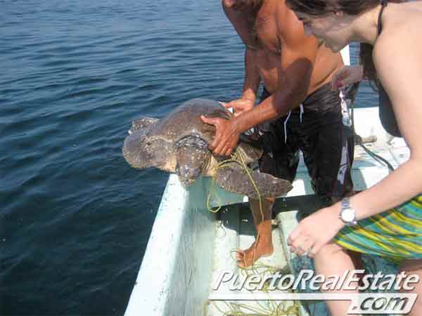 Ridley Sea Turtles 1